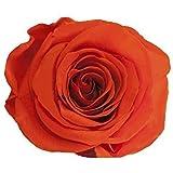 ETERNAL ROSES XL Rosenkopf, konserviert, Farbe Orange