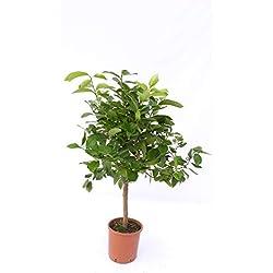 Zitronenbaum Zitrone Citrus limon 70-100 cm Zitruspflanze