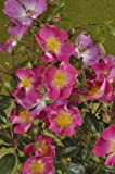 'Rosenreigen' -R-, Rambler-Rose in A-Qualität Wurzelware