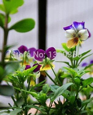 petite fleur pansy, Viola cornutat semences, graines de fleurs en pot petit angle Viola, environ 30 particules