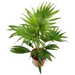 Livistona rotundifolia Serdang Schirmpalme 10 Samen