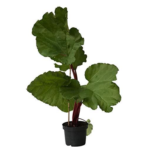 Müllers Grüner Garten Shop Rhabarber Pflanze The Sutton starkstielige frühe Sorte rotgrüne Stiele gesund im 2 Liter Topf