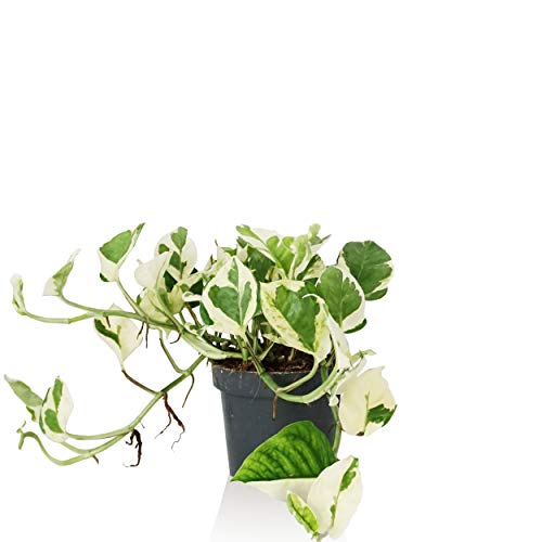 Indoor-Helden Efeutute Epipremnum pinnatum 'N-Joy' - Zimmerpfanze rankend