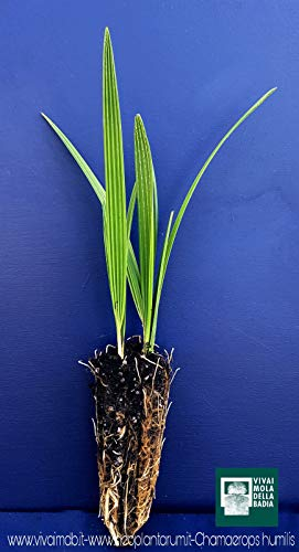 Portal Cool Chamaerops Humilis Alveolus Zwergpalme oder San Pietro Dwarf Fan Palm