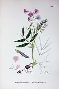 La Botanica Pianta il Lathyrus Tuberoso della Lenticchia Bastarda C1902