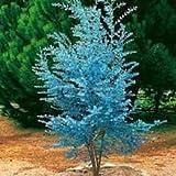 Vistaric 20 beeindruckende Eukalyptus gunnii Cidre Eukalyptus Herb Seeds, wunderschöne Farbe