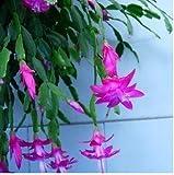 20pcs / lot Zygocactus Truncatus Samen Seltene Schlumbergera Samen Orchid Bonsai Blumen Mehrfarbiges Wählen Sie DIY für Hausgarten 5