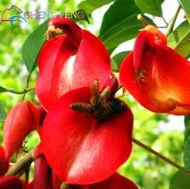 Green Seeds Co. Véritable bonsaï! 50pcs / lot Erythrina Crista Galli, plantes arbustives brésiliennes belle fleur bonsaï plante bricolage maison jardin shippi gratuit: Bourgogne