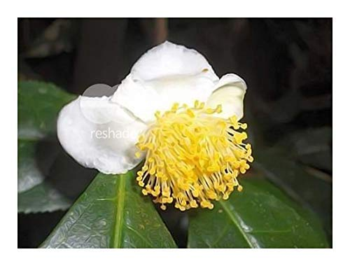 Camellia sinensis var. sinensis - tea plant - 5 seeds