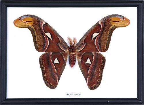 Die GIANT Atlas Moth (atlasspinner), & montiert unter Glas, Schmetterling TAXIDERMIE Art Wand