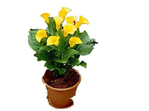 KINGDUO 50 Pcs Calla Lily Graines Jardin Balcon en Pot De Fleurs Vivaces Graines Bonsai Lierre Fleurs-Jaune