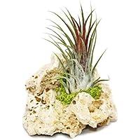 Tillandsia en roca de Zanzíbar, tamaño pequeño, 1planta
