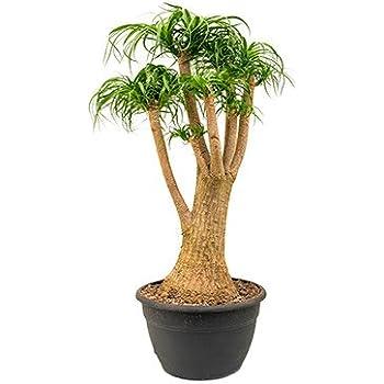 elefantenfu gro e zimmerpflanze sonniger standort beaucarnea recurvata 1 pflanze 90 110 cm im. Black Bedroom Furniture Sets. Home Design Ideas