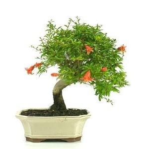 SAFLAX Punica granatum nana Granado enano 50 semillas