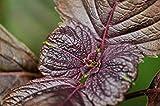 PLAT FIRM KEIM SEEDS PLATFIRM-1000 Red Shiso, frutescens Perilla L. Britton VAR. crispa (Benth.) Deane Seeds