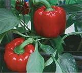 150 YOLO WONDER rote Paprika Süße Mild Capsicum Annuum Gemüsesamen ~ Palast der Sonne