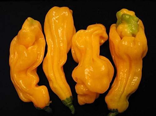 Portal Cool 25+ Frische geerntete Einzigartige Malaysian Goronong Hot Pepper Samen-O 127