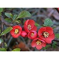 Suchergebnis Auf Amazonde Für Winter Rose Winter Rose Blumen