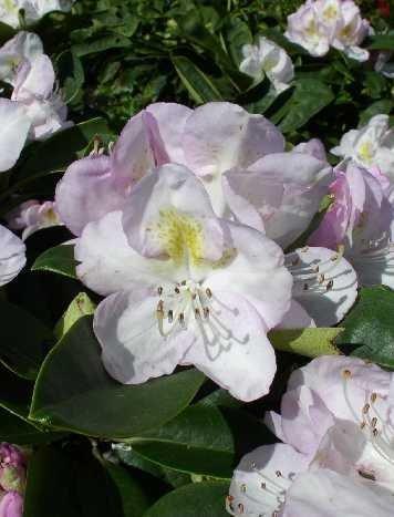Rhododendron Gomer Waterer 30 cm hoch im 4 Liter Pflanzcontainer