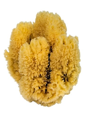 CROLL & DENECKE K5 - Esponja Natural del Caribe (18-20 cm)
