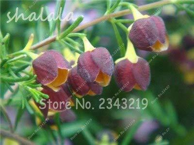 16:!200 pezzi semi di fiori rari semi fucsia, pianta da bonsai da interno fiori perenni giardino domestico facile da coltivare