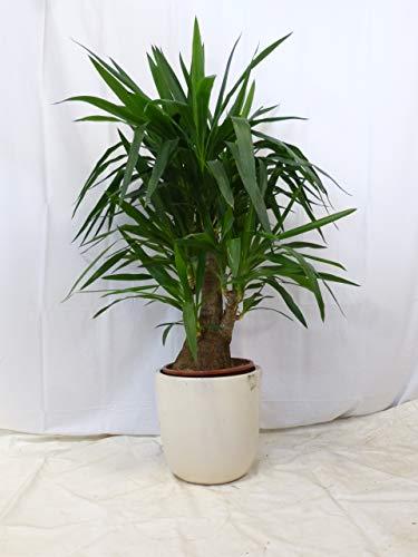 [Palmenlager] - Yucca elephantipes verzweigt 130 cm - Mutterpflanze mit sehr dickem Stamm // Zimmerpflanze Yucca Palme