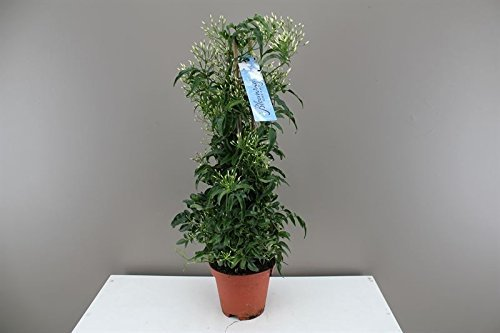 lovely-jasmine-gift-plant-pillar-shaped-200-flowers-on-it-climbing-plant-ideal-for-hiding-walls-and-