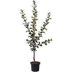 Müllers Grüner Garten Shop Pflaumenbaum Große Grüne Reneklode Pflaume einjährig Buschbaum 100-120 cm 7,5 Liter Topf St Julien A
