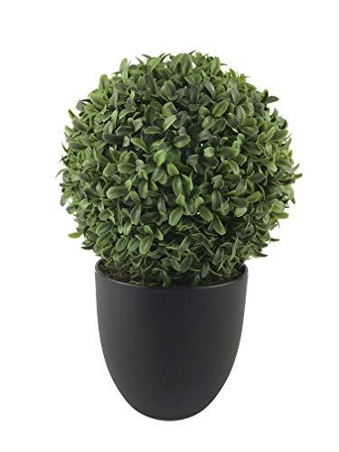 Buchsbaum var Arborescens