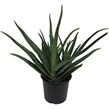 Aloe Vera, Aloe Vera Pflanzen, Wüstenlilie, Aloe Vera Gel