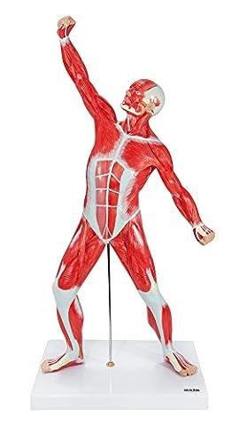 Axis scientifique 50,8cm Hauteur Système musculaire humain réplique miniature modèle, montre les superficielles musculaire Anatomie
