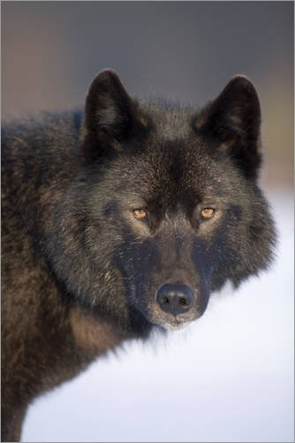 Leinwandbild 20 x 30 cm: Wolf auf einem verschneiten Feld von John Hyde / Design Pics - fertiges Wandbild, Bild auf Keilrahmen, Fertigbild auf echter Leinwand, Leinwanddruck