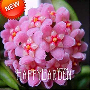 balcone fiori in vaso hoya bonsai, scuro hoya carnosa giardino, orchidea pianta 25 colori disponibili 100 pcs/pacchetto, mtlup: 11