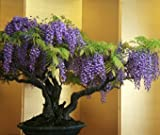 "Seedeo Blauregen Wisteria sinensis ""blue"" Bonsai 8 Samen"