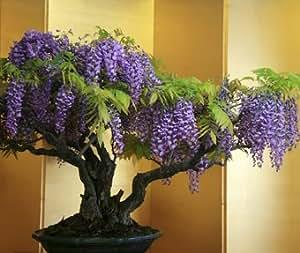 Seedeo blauregen wisteria sinensis blue bonsai 8 samen k che haushalt - Graine de glycine ...