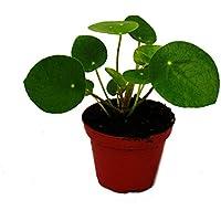 Pilea peperomioides - Glückstaler - Chinesischer Geldbaum - Bauchnabelpflanze im 9cm Topf