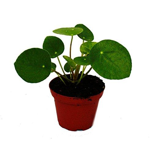 Mini - Pilea peperomioides - Glückstaler - Chinesischer Geldbaum - Bauchnabelpflanze im 5,5cm Topf