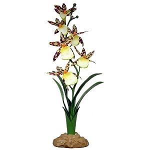 Komodo Spider Orchid, 40 cm