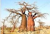 SANHOC Las Semillas del Paquete: Fresh Onia Baobab Semilla digitata (Rare Bonsai exótico Botella de floración de Semillas) 10 Semillas