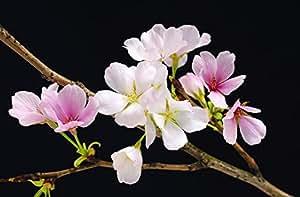 Poster mural géant - cherry blossoms fleurs de cerisier.- Dimensions : 175 x 115 cm - livre en rouleau wg00627