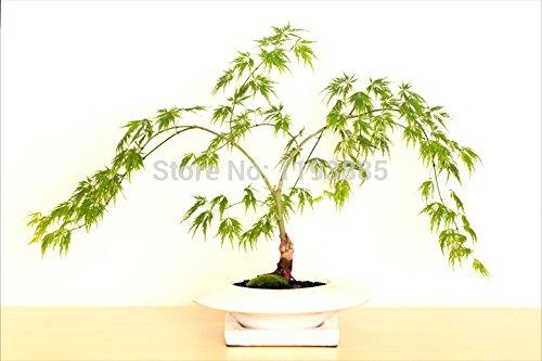 20Stück Kanada Colorful Ahorn Baum Samen Mini Pflanzen Bonsai DIY Home Garden Leaf Can Change von grün zu rot
