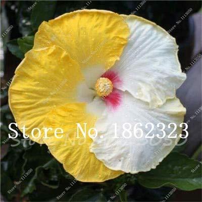¡Venta! 100 PC/bolso del hibisco Bonsai Perenne flor del hibisco planta de la oficina de escritorio Decoración Flores para jardín fácil de cultivar: 12 (Escritorios De Oficina)