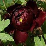 Pinkdose 100 Stück/Beutel Riesen Hibiskus-Blume Bonsai Pflanze Indoor Blume Eibisch Bonsai-Baum-Haus-Garten-Dekoration Topfpflanzen: 13