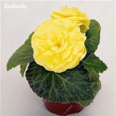 Nouveau! 150 Pcs Begonia Graines Bonsai Graines de fleurs Bonsai Maison & Jardin Flor Plantes en pot Purifier l'Office Air Bureau Fleurs 18