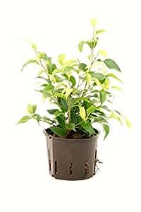 Birkenfeige, Ficus benjamina Natascha, ca.35 - 40 cm, beliebte Zimmerpflanze in Hydrokultur, 11/9er Kulturtopf