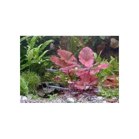 Mühlan Topartikel- Anti-Algen-Set – 40 schnellwachsende Pflanzen + 2 Tigerlotus