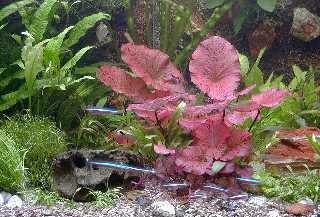 Mühlan Topartikel- Anti-Algen-Set - 40 schnellwachsende Pflanzen + 2 Tigerlotus