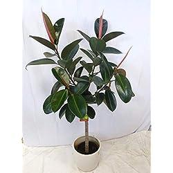 """[Palmenlager] - Gummibaum - Ficus elastica""""robusta"""" VERZWEIGT 160 cm - // Zimmerpflanze"""