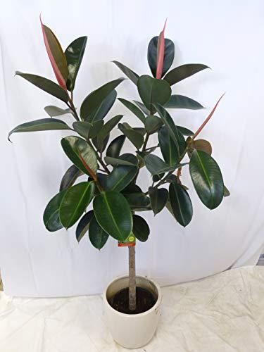 """[Palmenlager] – Gummibaum – Ficus elastica""""robusta"""" VERZWEIGT 160 cm – // Zimmerpflanze"""