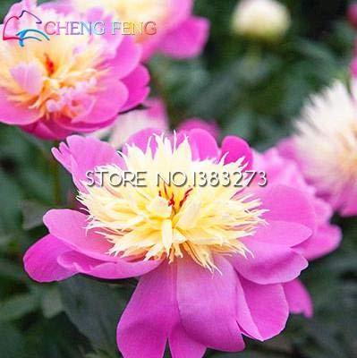 Shopmeeko Pretty Chinois pivoines Herbacées bonsaï Lot de 10 pcs Pivoine Fleur Sementes pour Home Garden Plantes Bonsai lumière Vert